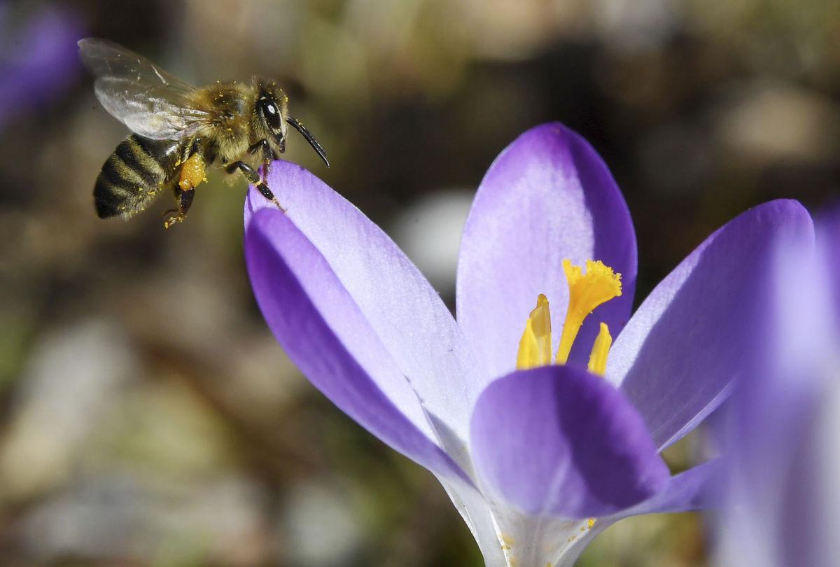 včela, kvet, krokus