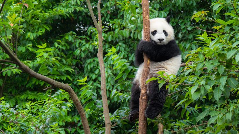 panda, les, strom,