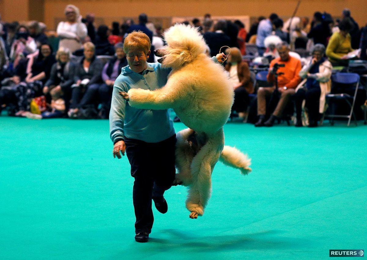 pudlík, pes, súťaž