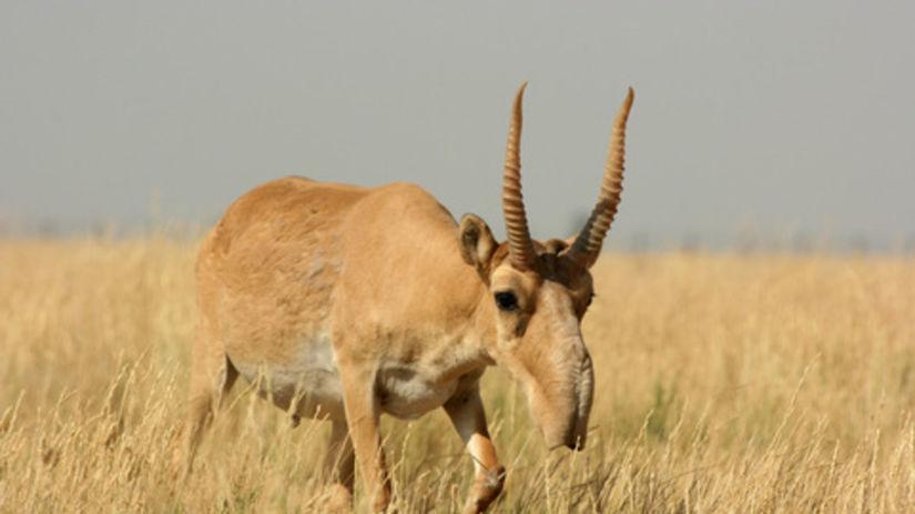 antilopa, zviera, lúka, pole