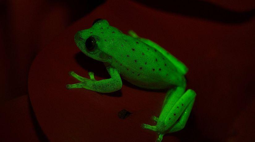 žaba, rosnička, fosforeskujúca
