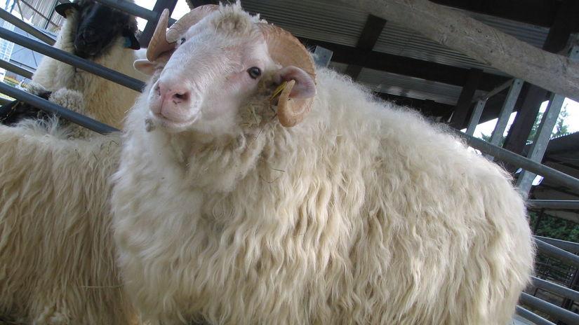 ovca, Valaška