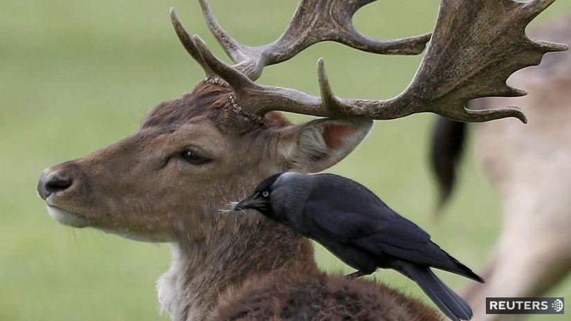 zvieratá, vták, jeleň