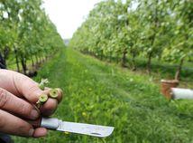 Jar na Slovensku pripomína polopúšť, ovocinári musia krotiť mráz