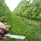 sady, ovocie, ovocné sady, jar, stromy, jarné mrazy, zmrznutá úroda,