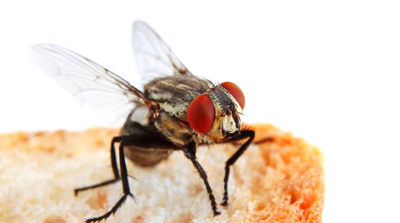 Hmyz na jedle, špeciálne muchy