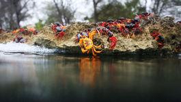 kraby, Kuba