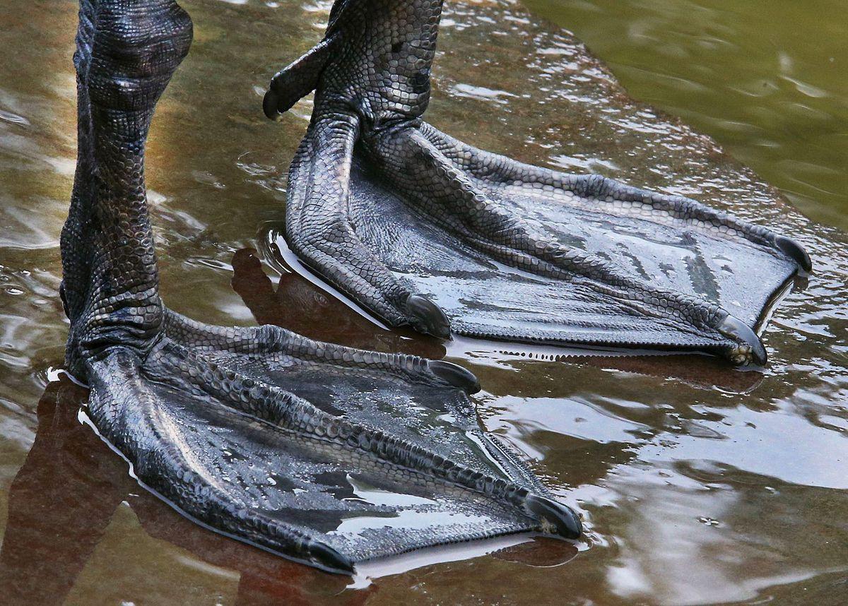 nohy, laby, labky, labuť, plávacie blany
