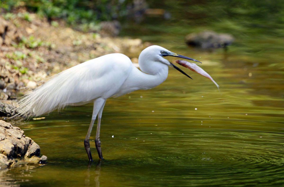 volavka, ryba, vták, rieka