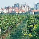 hrozno, víno, vinice, vidiek, mesto