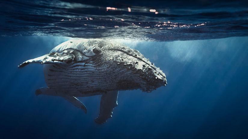 veľryby,