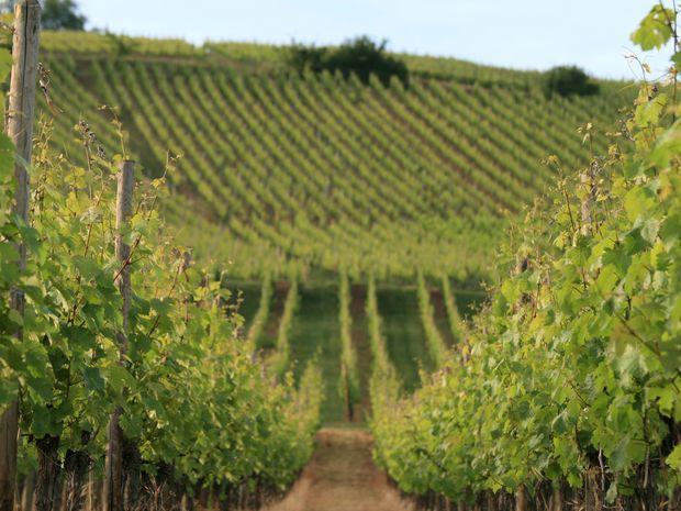 Obrázok Víno nie nemecké, nie francúzske, ale alsaské