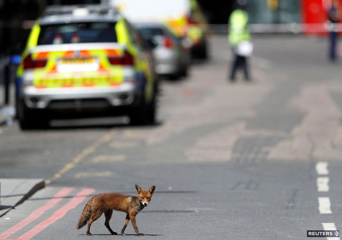 líška, polícia, ulica