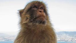 Gibraltár, opica,