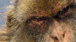 Gibraltár. opica