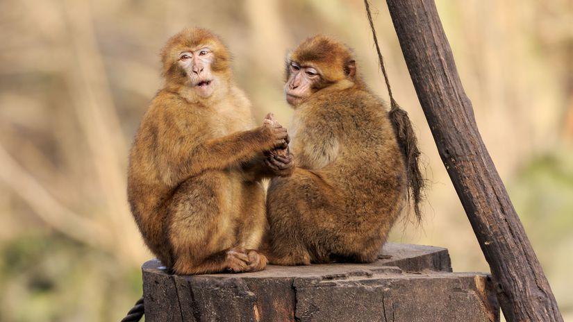 makak, opica,