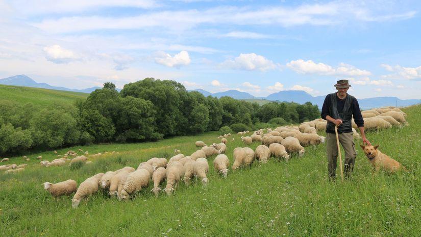 Dubrava Roman Slabej, ovce