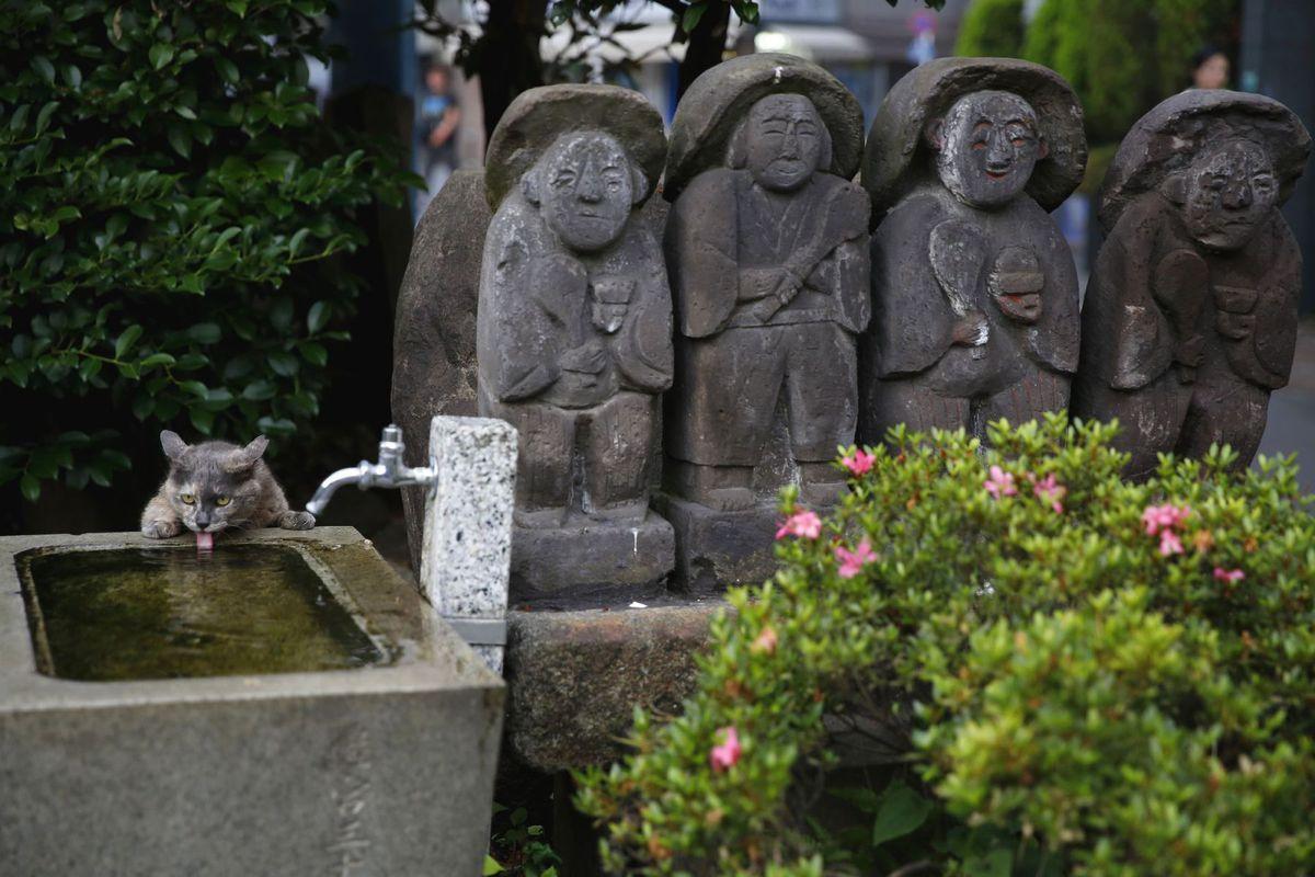 Japonsko, sochy, mačka, pitie