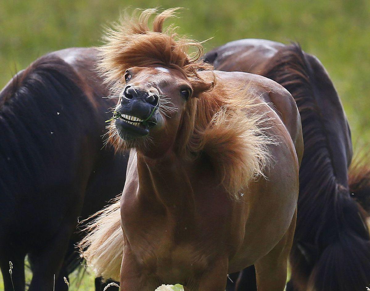 kone, kôň, hriva, stádo, zvieratá