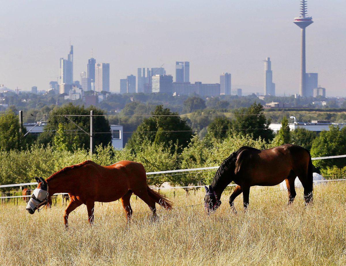 kone, príroda, pasenie, hospodárstvo, mesto, Frankfurt