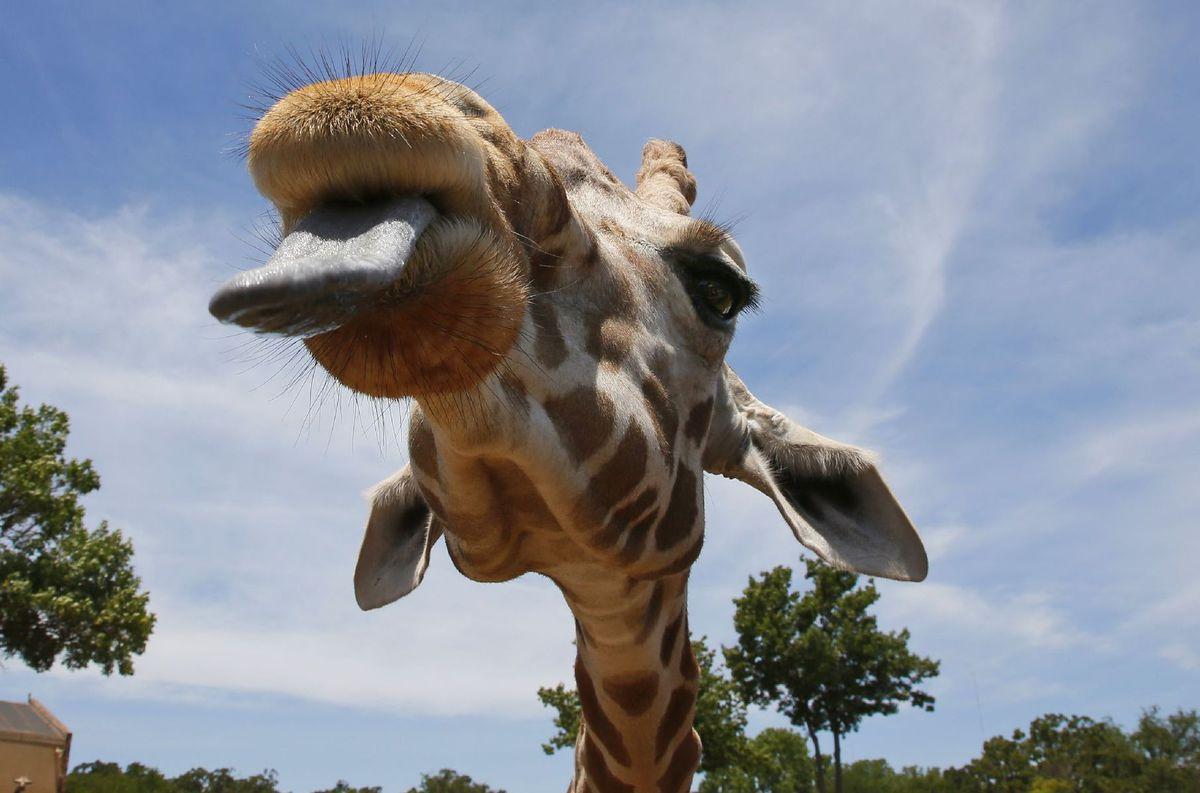 žirafa, zoo, zviera, jazyk,
