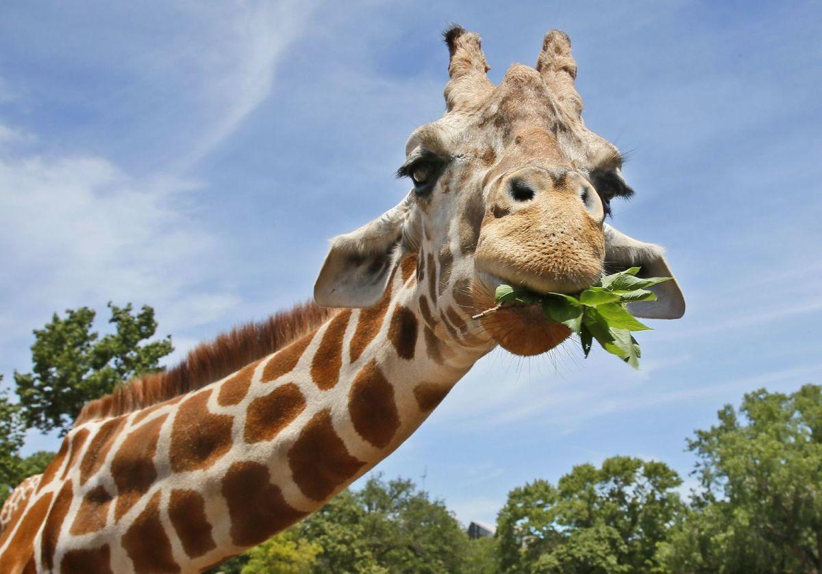 žirafa, zviera, zoo, jedenie, savana, Afrika