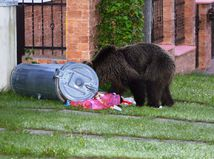 Spoločná poľovačka stála život medvedicu