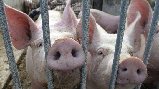 Na Slovensko sa dostalo 21 ton mäsa napichaného antibiotikami