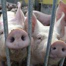 prasatá, bravčovina, rypáky, svine, dobytok, chov, hospodárstvo