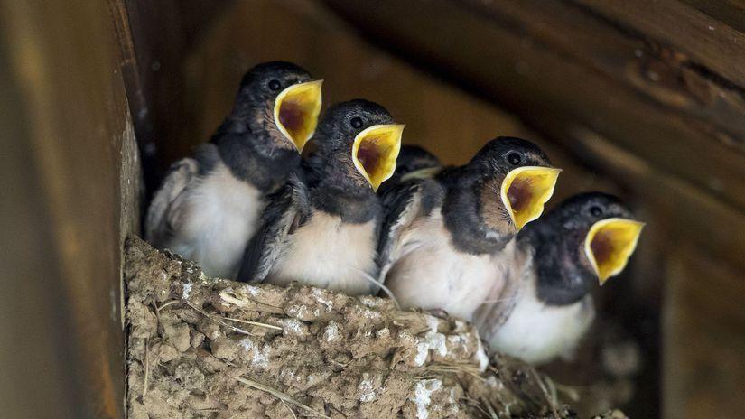 vtáky, hniezdo, mláďatá, lastovičky
