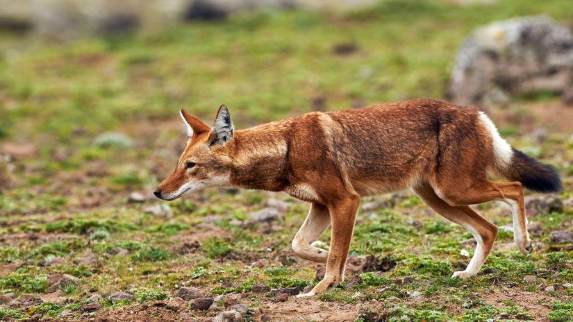Vlk etiópsky