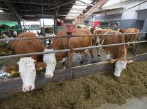 farma, kravy, dojenie