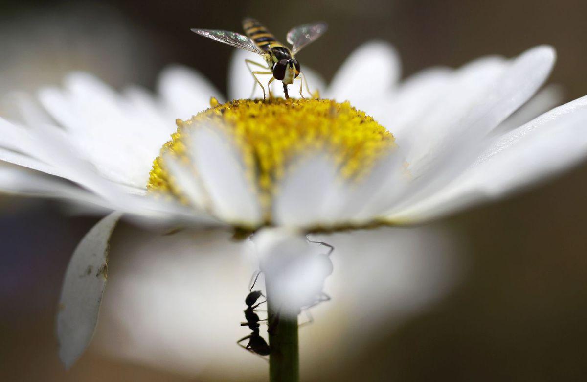 osa, hmyz, kvet, nektár, peľ, mravec, kamilka, harmanček