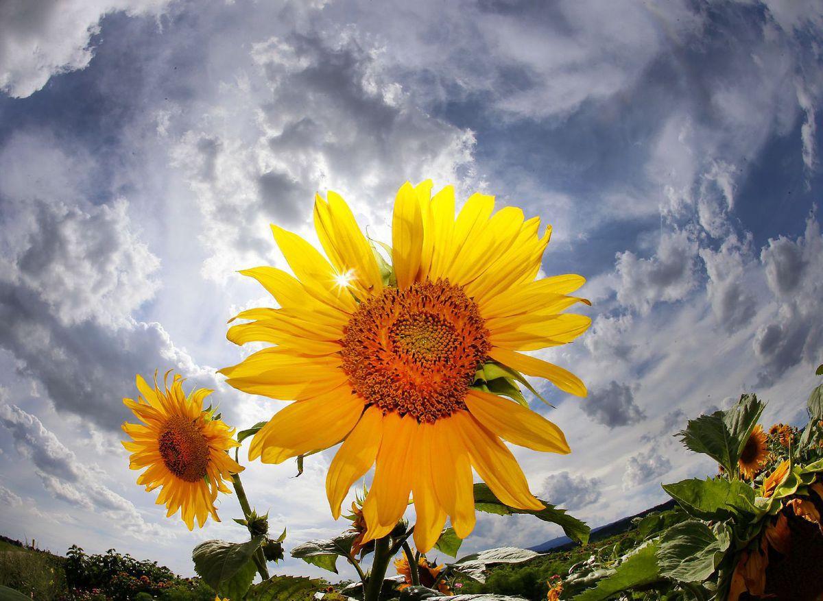 slnečnica, kvety, leto, pole, slnko,