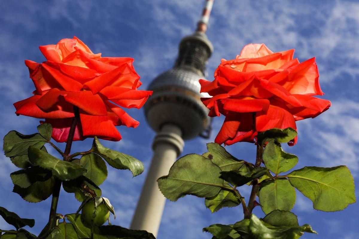 Berlín, Nemecko, ruže, kvety, televízna veža, Alexander platz