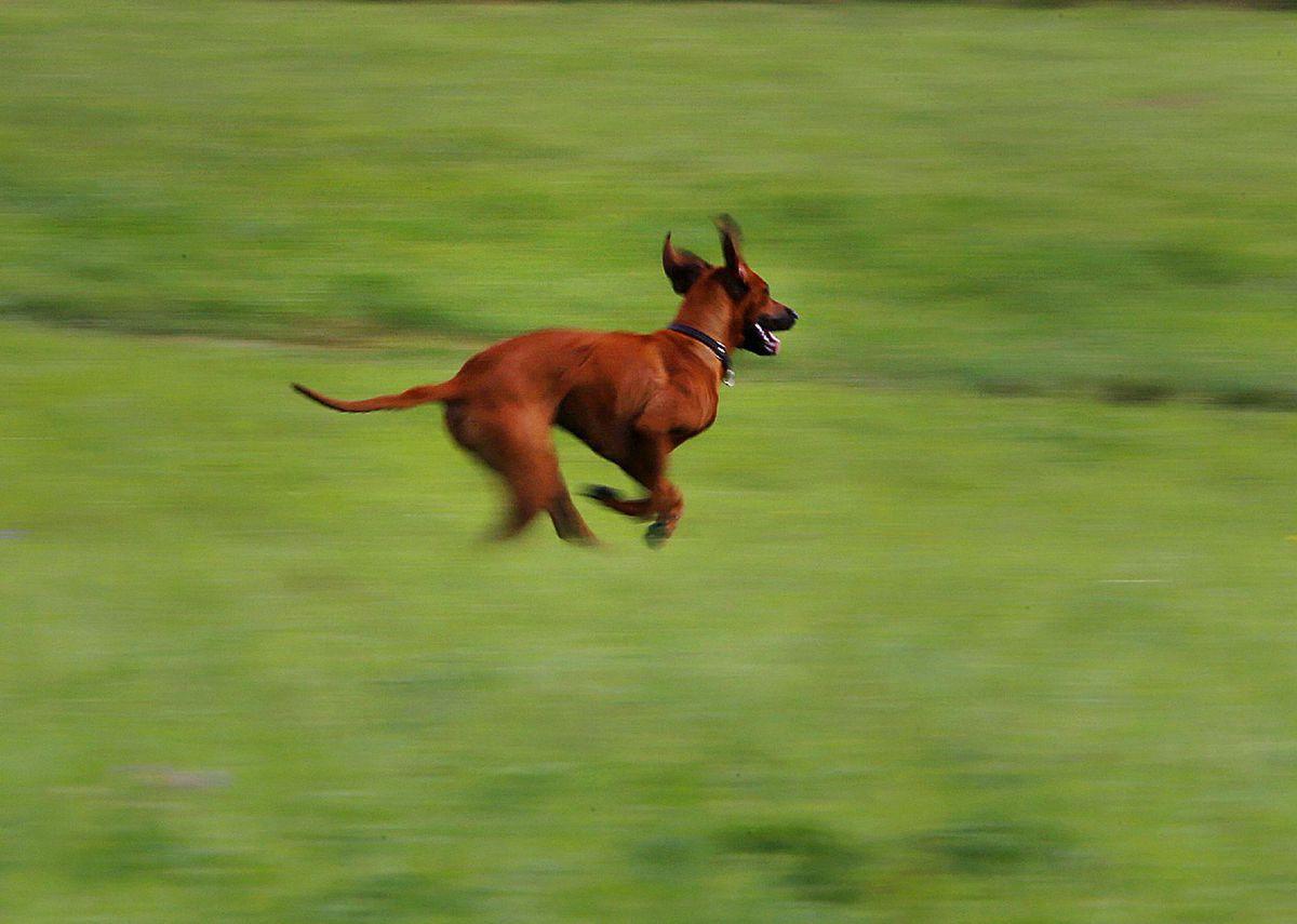 pes, výbeh, beh, lúka, venčenie,