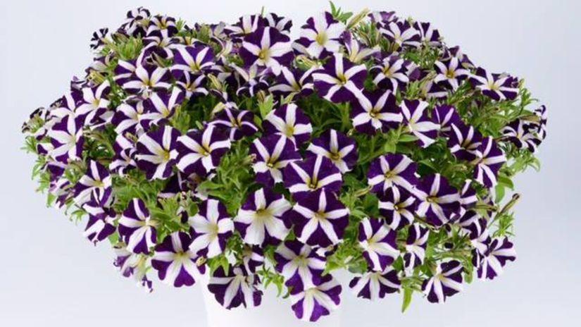 petúnia, amore purple, kvet, letnička,