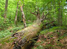hnijúca jedľa, les, prales