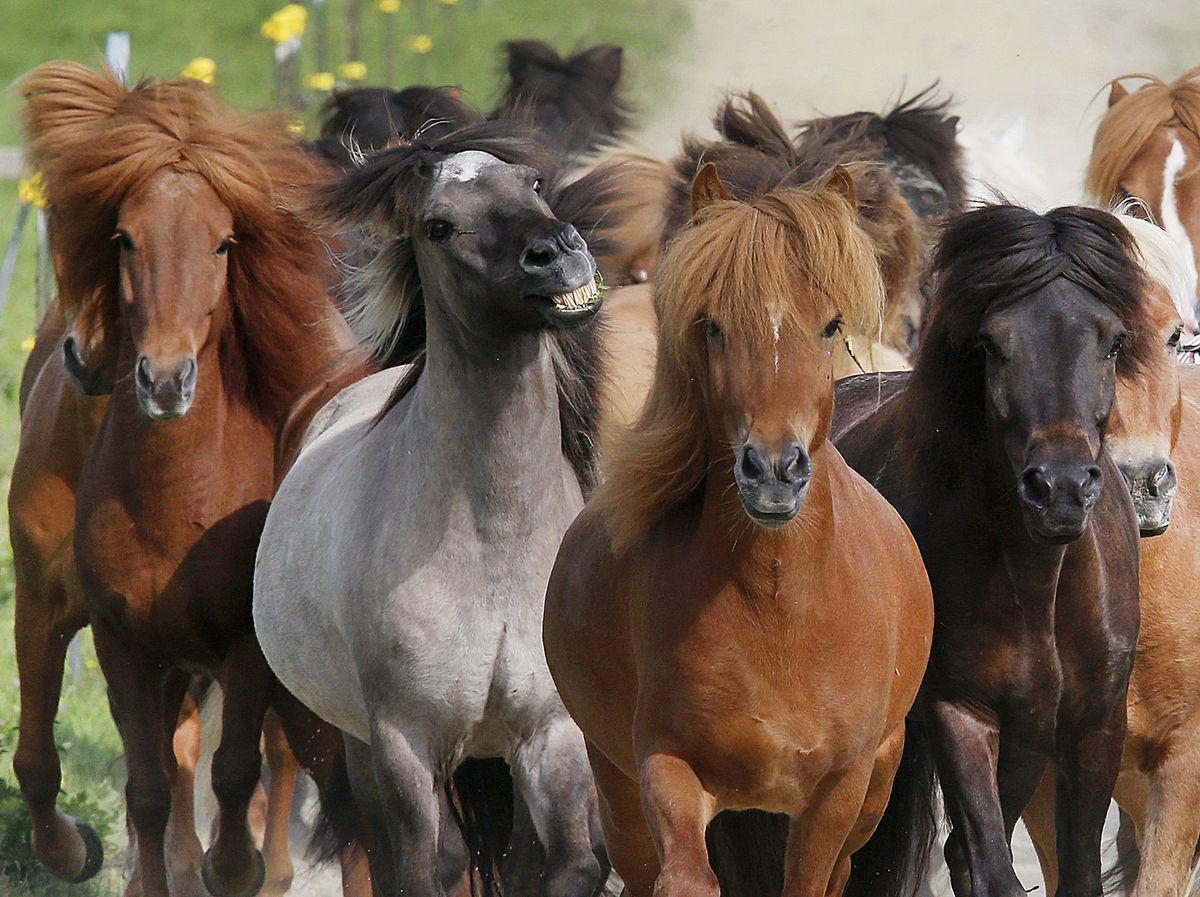kone, stádo, zvieratá,