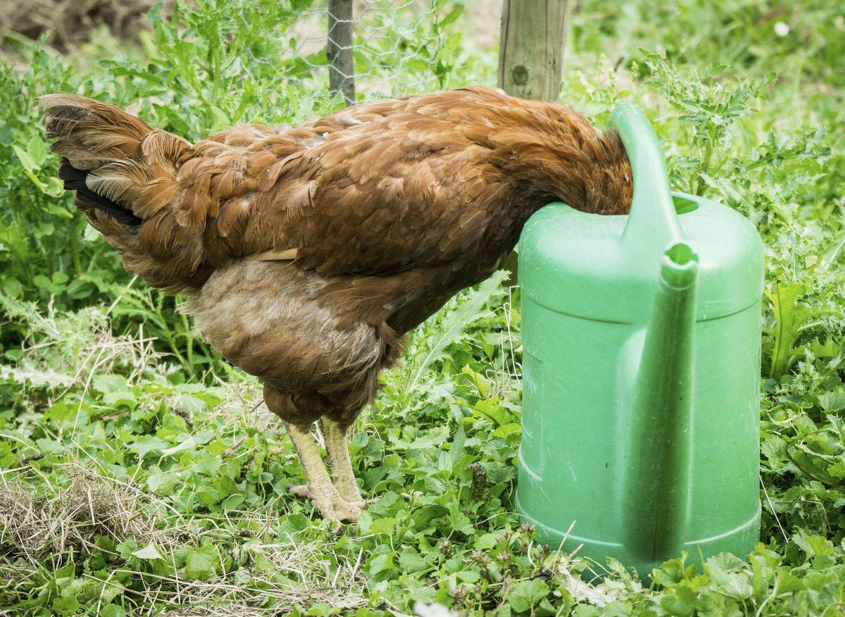 sliepka, kura, hydina, chov, polievačka, krhla