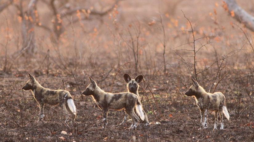 psy hyenovité