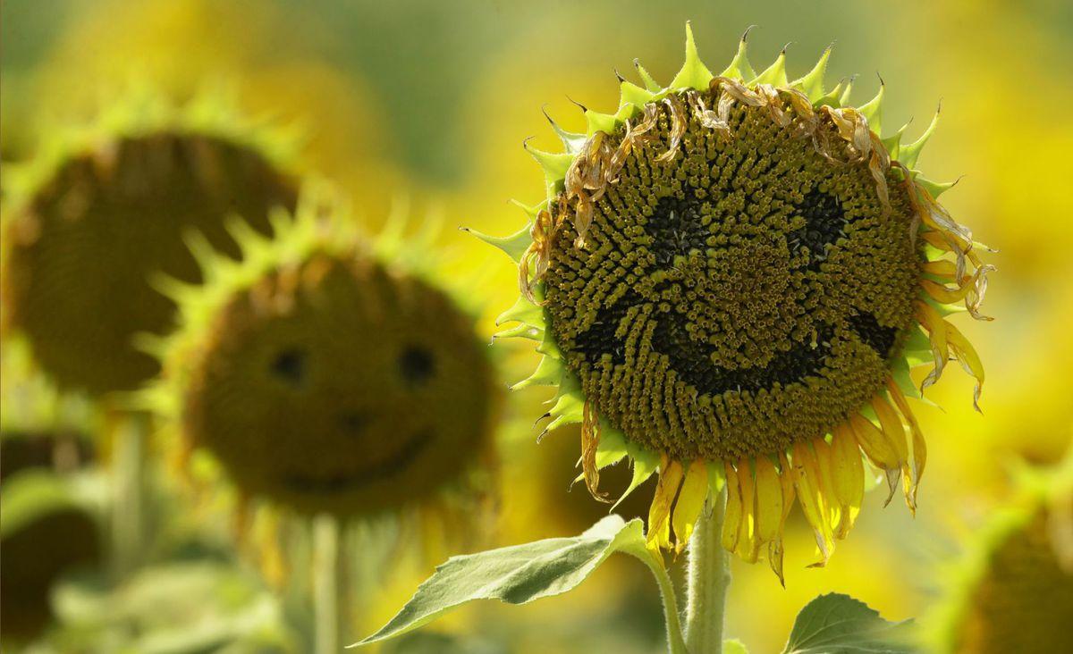 Kansas, slnečnice, kvety, úsmev, smile, smajlík