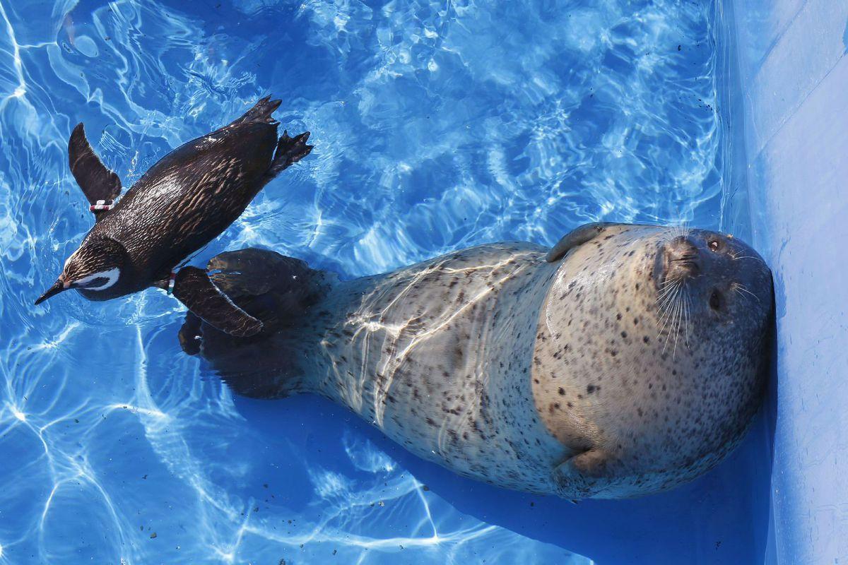 uškatec, tuleň, tučniak, bazén, zoo, akvárium