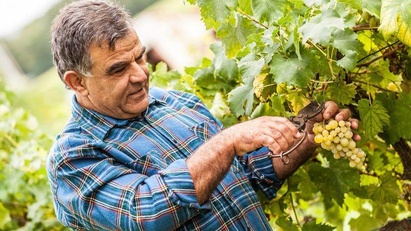 pracujúci, dôchodca, hrozno, vinič, víno