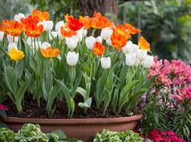 tulipány, kvety, záhrada
