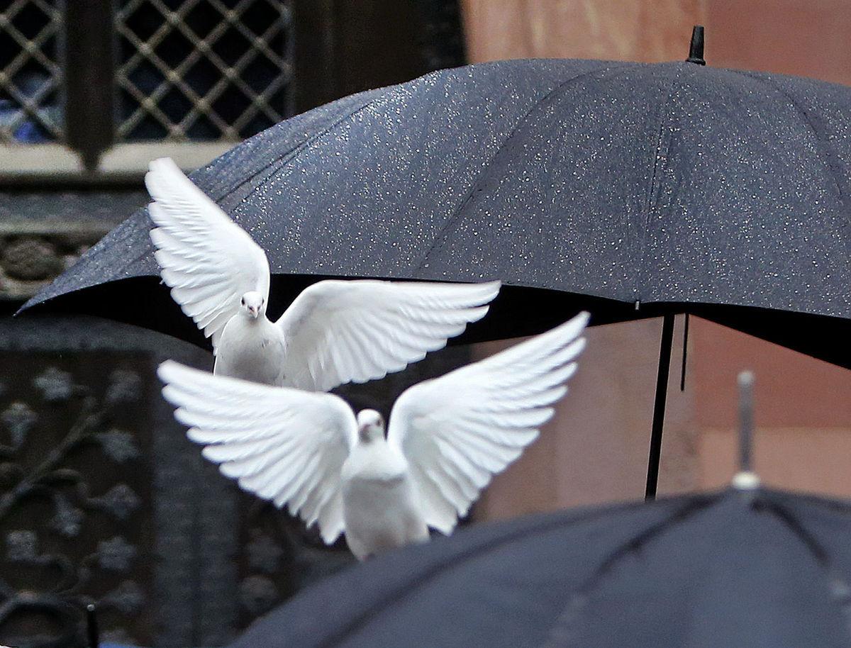 dáždniky, holubice, vtáky,