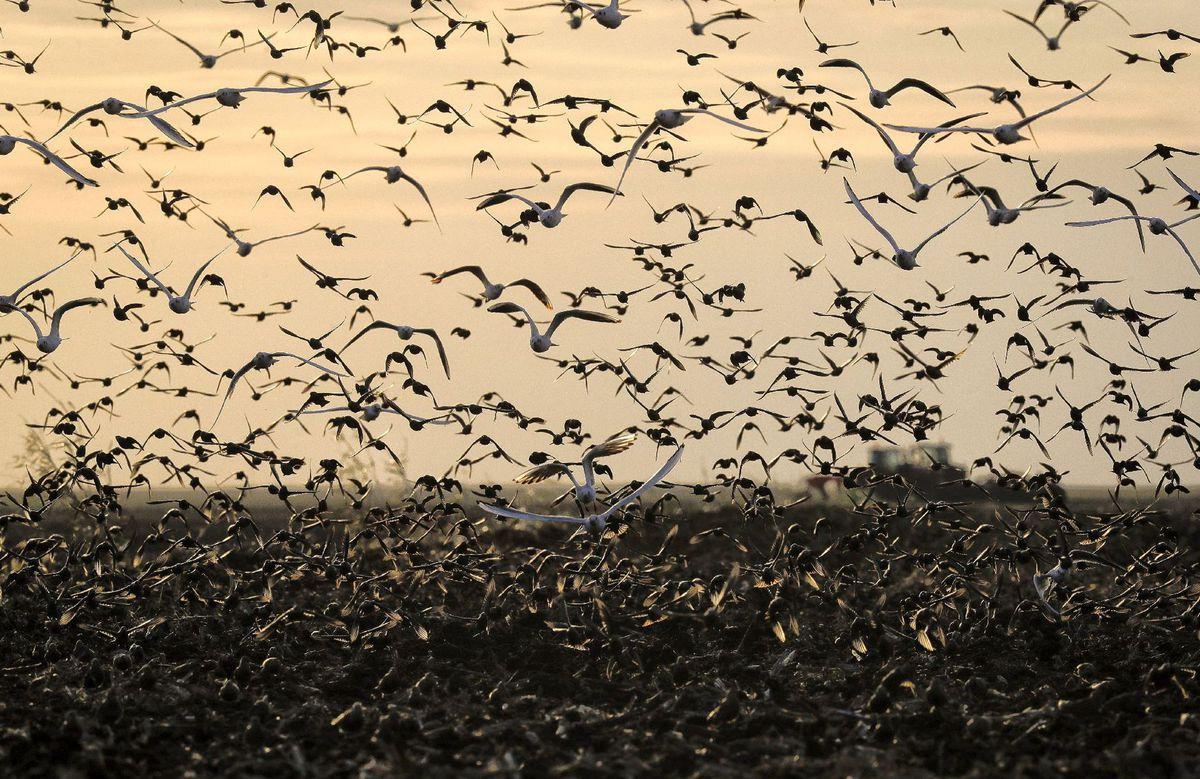 vtáky, kŕdeľ, let,