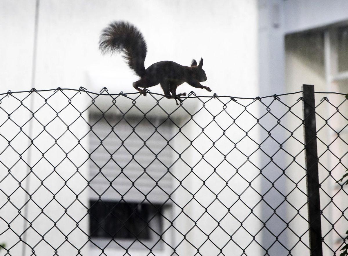 veverička, plot