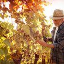 hrozno, vinič, dôchodca, práca, pracujúci