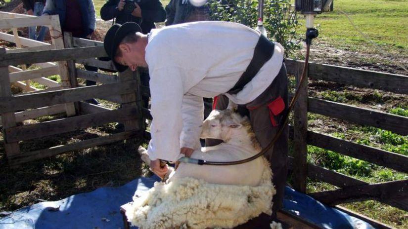valach, salaš, ovca, strihanie